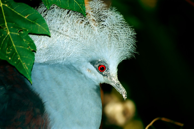 CROWNED PIGEON_filtered 1A copy