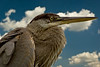 GREAT BLUE HERON<br /> IMAGE 7374