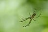 GARDEN SPIDER<br />  Argiope aurantia