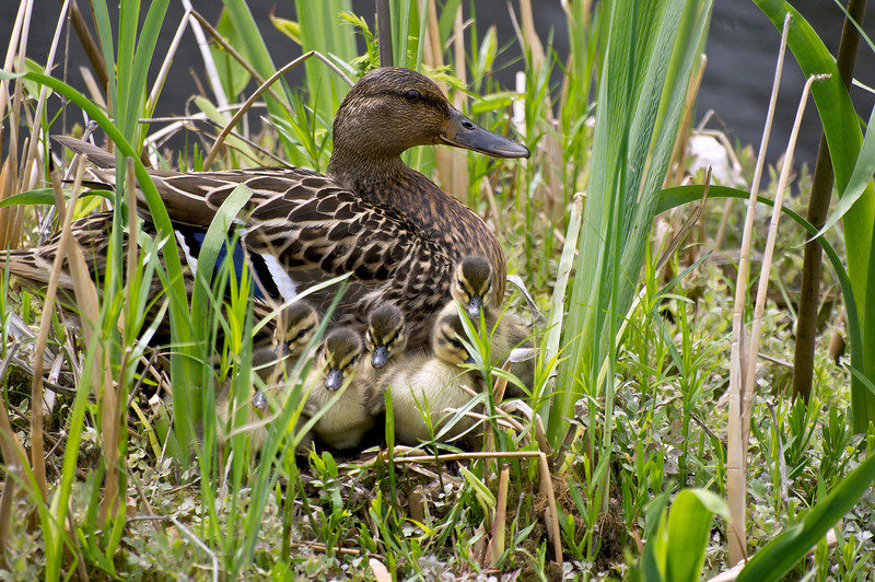MALLARD DUCK AND DUCKLINGS<br /> IMAGE 2315