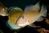 SATANOPERCA JURUPARI FISH