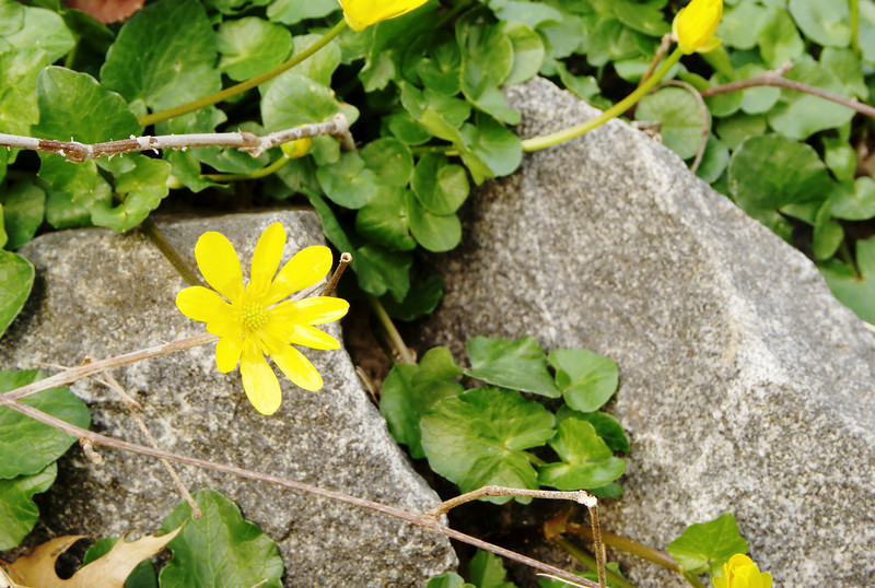 YELLOW FLOWER AND ROCKS 1706_filtered