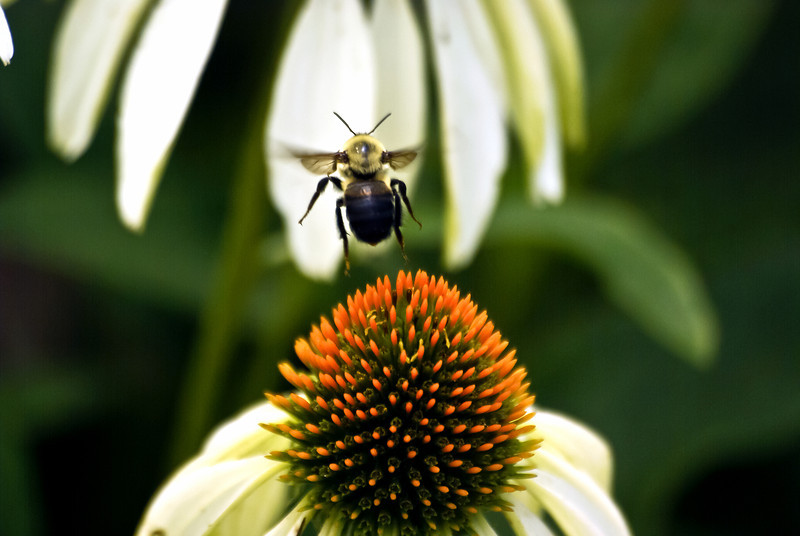 BUMBLE BEE IN MID FLIGHT AFTER LAUNCHING FROM A CONE FLOWER