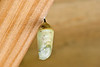 MONARCH BUTTERFLY CHRYSALIS 0372