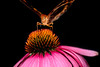 BUTTERFLY ON CONE FLOWER_filtered