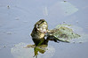 SNAKE EATING FROG IMAGE 8