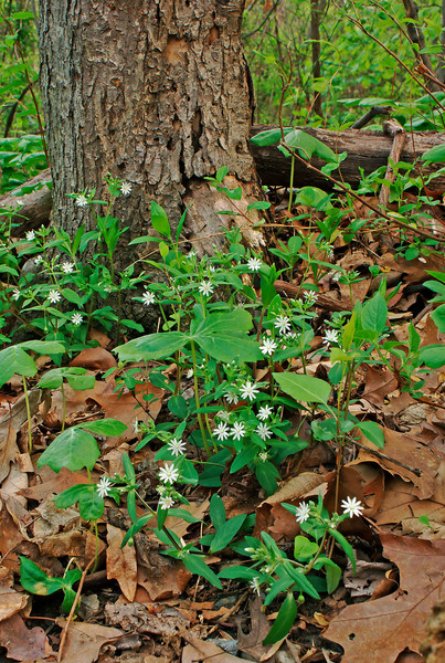 GIANT CHICKWEED(STELLARIA PUBERA) AND TREE