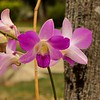 FLOWERS & TREES  Pink Orchid