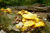 WILD MUSHROOMS IN THE WOODLAND <br /> JACK O' LANTERN MUSHROOMS<br /> OMPHALOTUS OLEARIUS