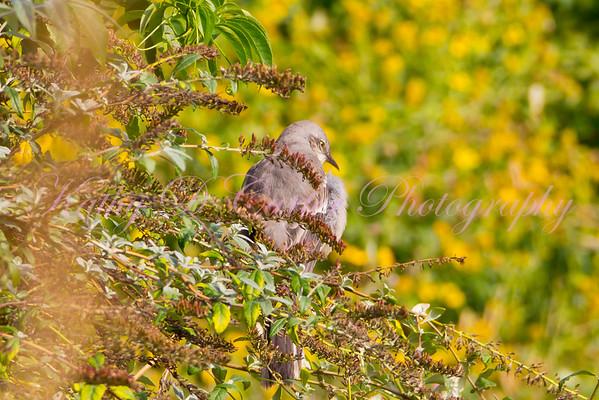 Mockingbird - Texas State Bird