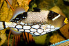 CLOWN TRIGGER FISH, BALISTOIDES CONSPICILLUM