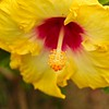 FLOWERS & TREES  Yellow Hibiscus
