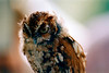 PYGMY OWL_filtered