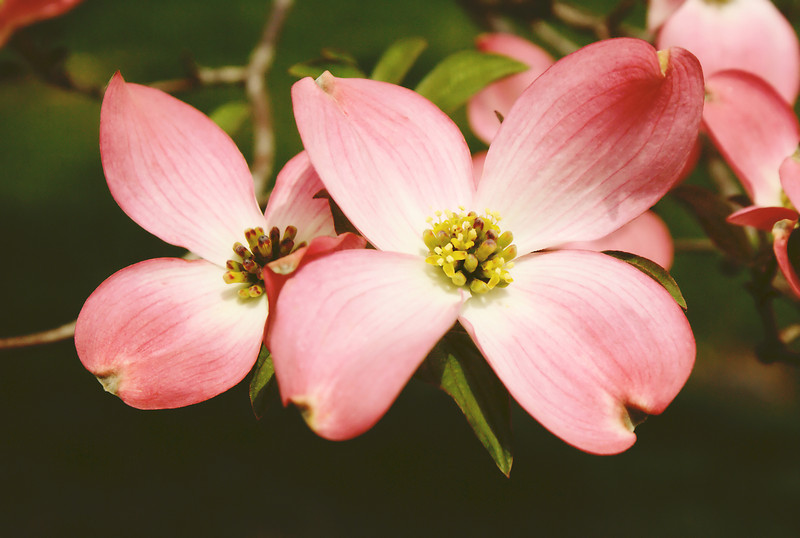 DOGWOOD BLOSSOMS 2253_filtered 1A copy