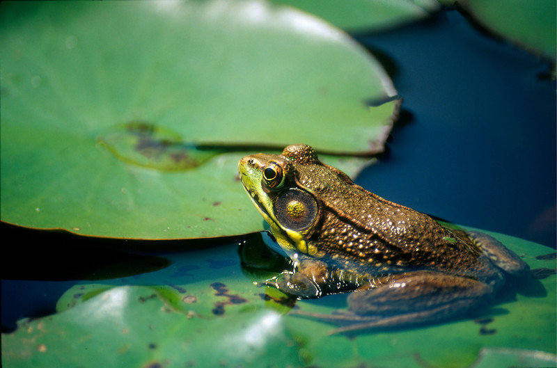 FROG ON THE LILLY PAD AT THE KENILWORTH AQUATIC GARDENS IN WASHINGTON D.C.