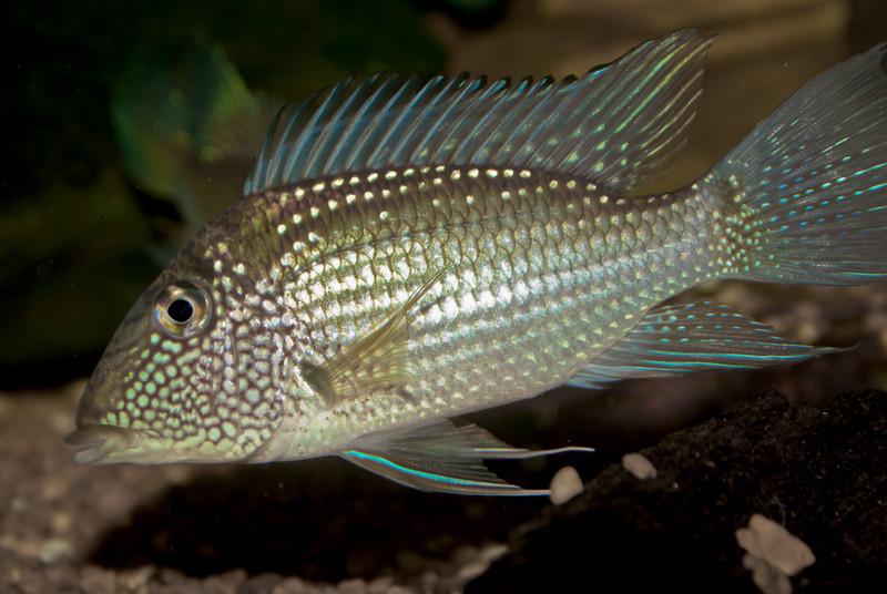 SATANOPERCA JURUPARI FISH<br /> IMAGE 4153