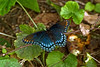 BUTTER FLY : LIMENITIS ARTHEMIS ASTYANAX