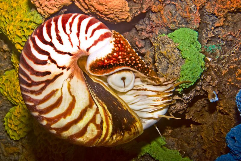 CHAMBERED NAUTILUS IN THE NATIONAL AQUARIUM IN WASHINGTON D.C.