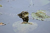 SNAKE EATING FROG IMAGE 2