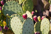 Close up look at a prickly pear fruit.
