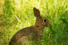 WILD RABBIT (EASTERN COTTONTAIL)<br /> IMAGE 07331