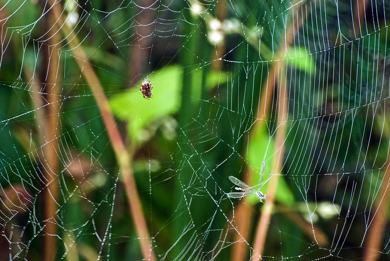 SPIDER WITH DAMSEL FLY IN WEB