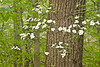 DOG WOOD BLOSSOMS 2228A_filtered 1A copy
