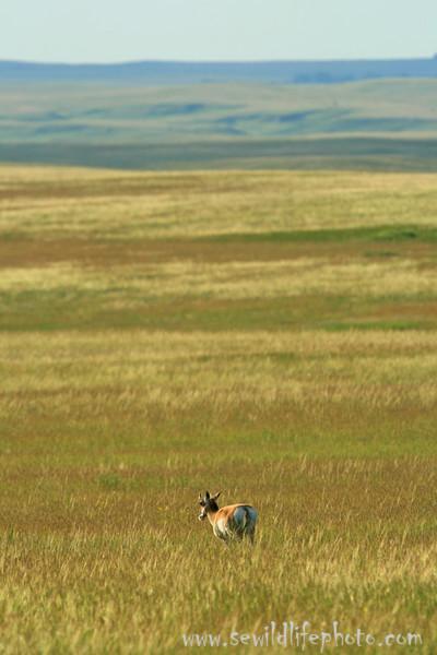 Pronghorn prairie landscape, Badlands National Park, SD