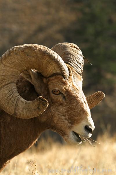 Bighorn sheep ram (Ovis canadensis), National Bison Range, Montana