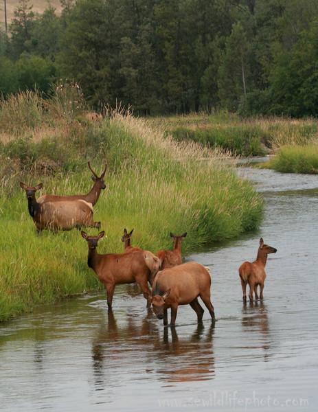 Elk herd (Cervus canadensis), National Bison Range, Montana