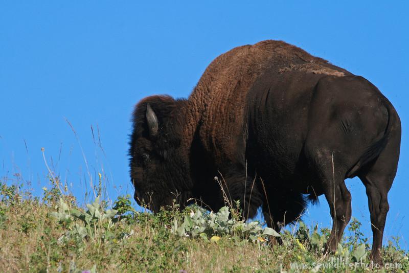American bison bull (Bison bison), National Bison Range, Montana