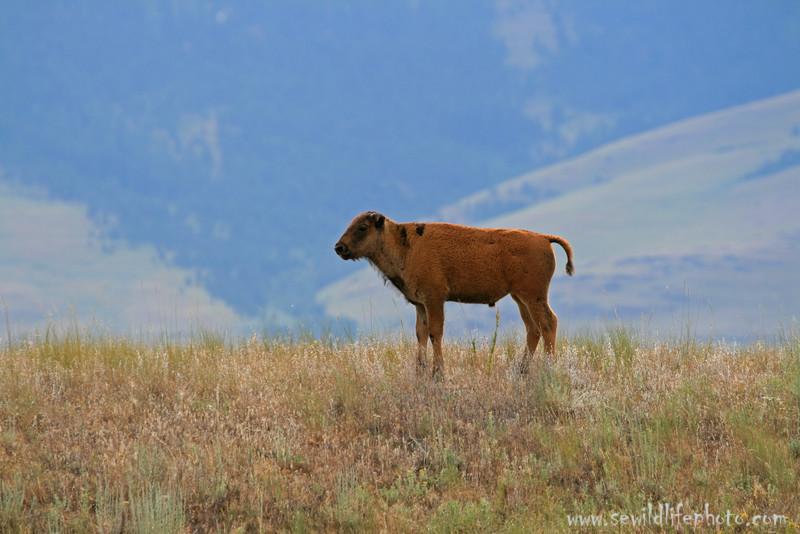 Bison calf (Bison bison), National Bison Range, Montana
