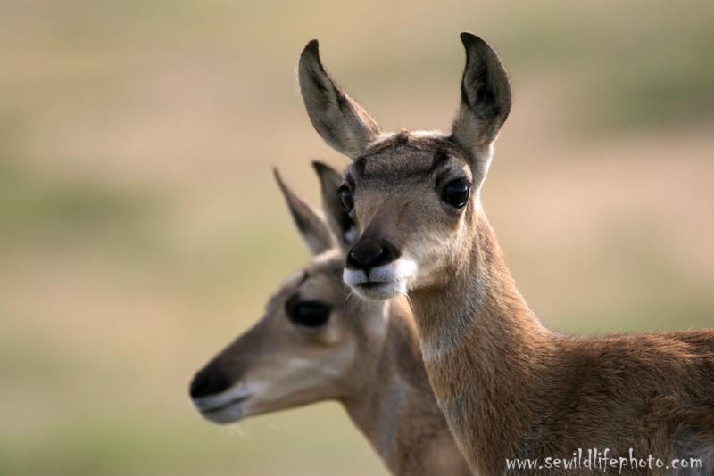 Pronghorn antelope fawns (Antilocapra americana), National Bison Range, Montana