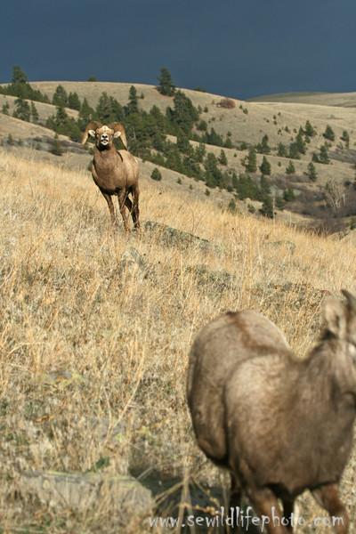 Bighorn sheep (Ovis canadensis) flehmening, National Bison Range, Montana