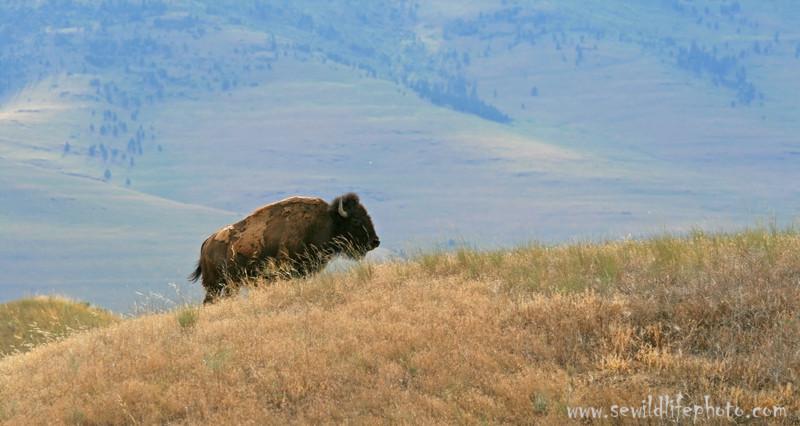 Bison (Bison bison), National Bison Range, Montana