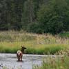 Elk (Cervus canadensis), National Bison Range, Montana