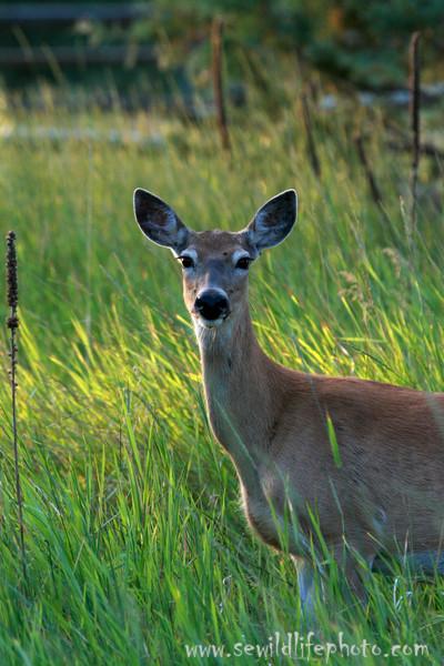 White tailed deer doe (Odocoileus virginianus), National Bison Range, Montana