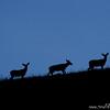 Mule deer doe silhouettes (Odocoileus hemionus), National Bison Range, Montana