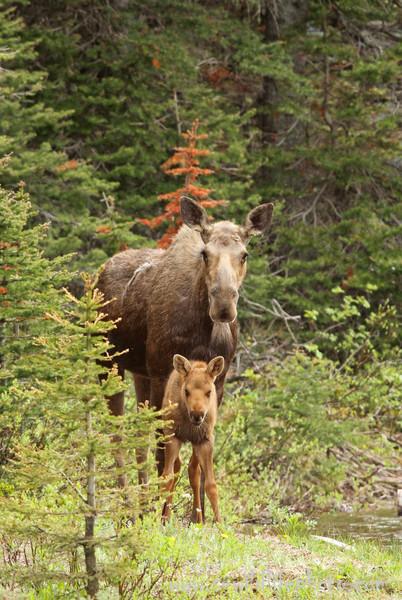 Moose and calf (Alces alces), Glacier National Park, Montana