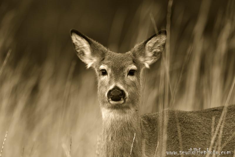 Mule deer (Odocoileus hemionus), National Bison Range, Montana
