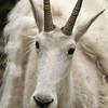 Mountain goat (Oreamnus americanus), Glacier National Park, Montana