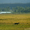 Coyote (Canis latrans) running through meadow, Grand Teton National Park, Wyoming