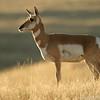 Pronghorn antelope (Antilocapra americana), National Bison Range, Montana