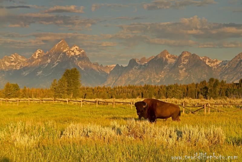 Bull bison (Bison bison) at dawn, Grand Teton National Park, Wyoming