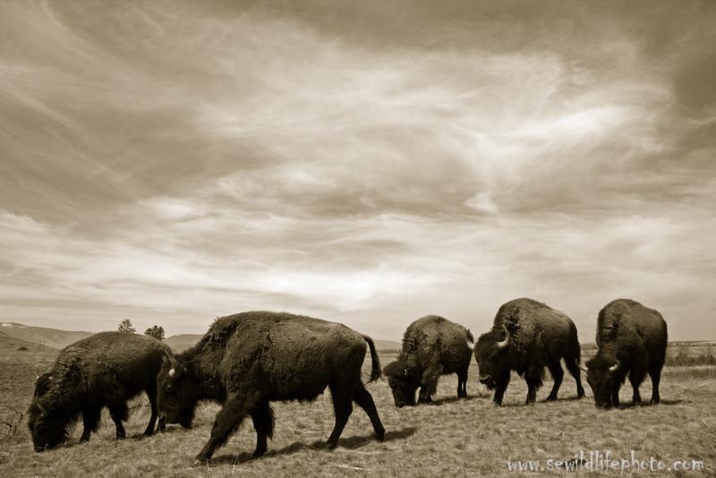American buffalo (Bison bison) in black & white, National Bison Range, Montana