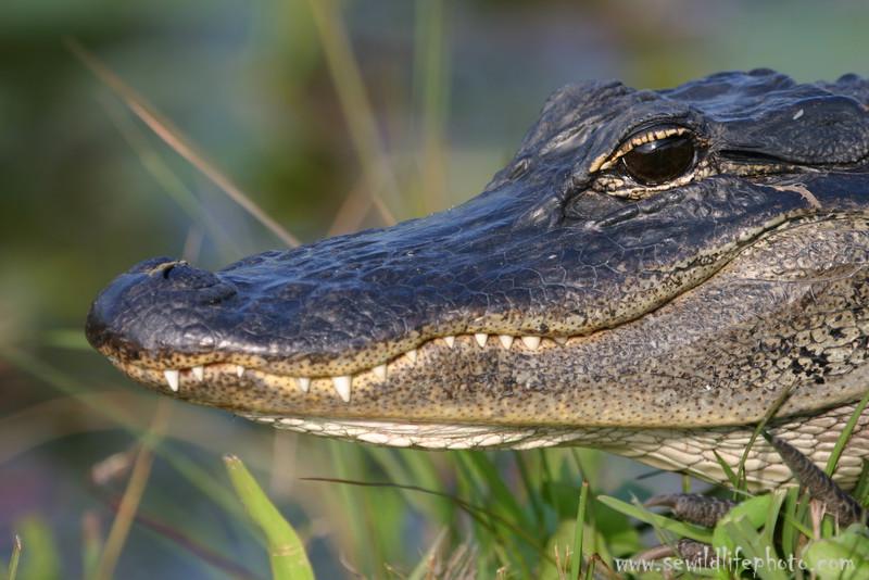 American alligator (Alligator mississipiensis), Everglades