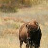 American bison (Bison bison), National Bison Range, Montana