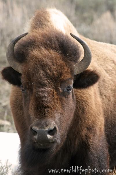 American bison (Bison bison), Yellowstone National Park, Wyoming