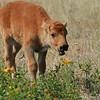 American bison calf (Bison bison), National Bison Range, Montana