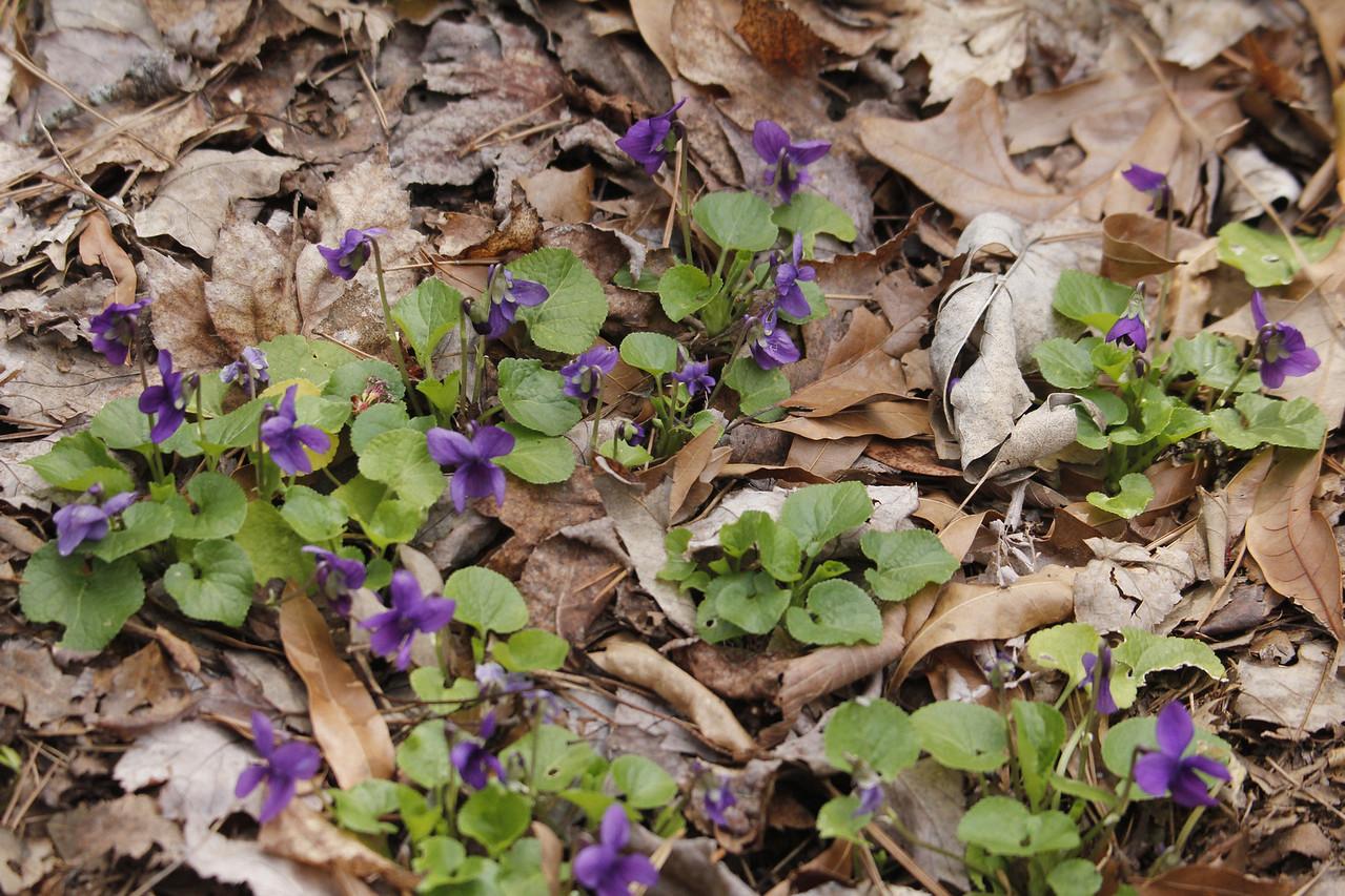 English violet